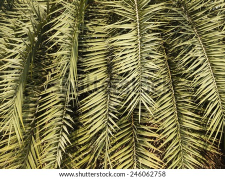 leaves green ( palm leaf ) - stock photo