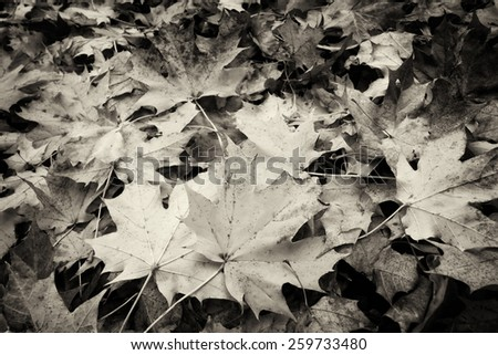 Leaves in Autumn, black and white - stock photo