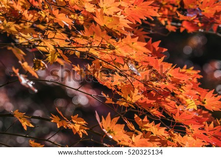 leaves in autumn forest, Japan