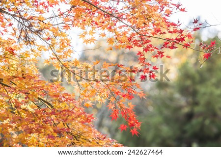 Leaves in autumn with red and yellow vivid colors.