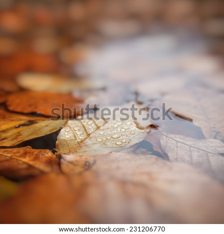 Leaves in water, beech leaves in autumn, shallow depth of field, beautiful blur - stock photo
