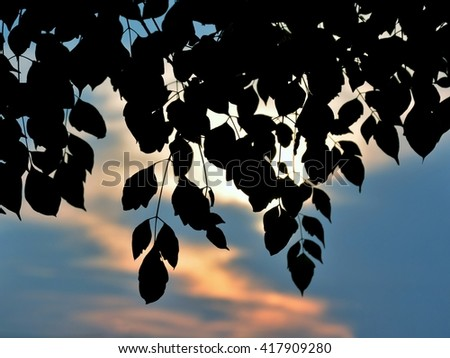 Leaves isolated on sunset background