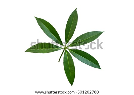 Leaves isolated on white background.Alstonia scholaris leaf.