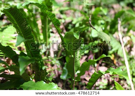 Harts Tongue Fern Stock Images RoyaltyFree Images Vectors