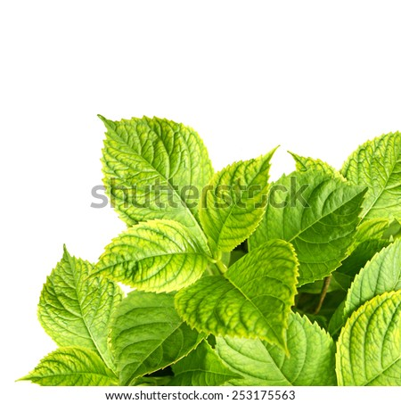 Leaves of a hydrangea. Isolated on white background