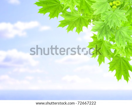 Leaves of a maple and blue sky - stock photo