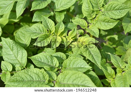 Leaves of a potato plant race Raja in the organic vegetable garden Groentenhof in Leidschendam, Netherlands. - stock photo