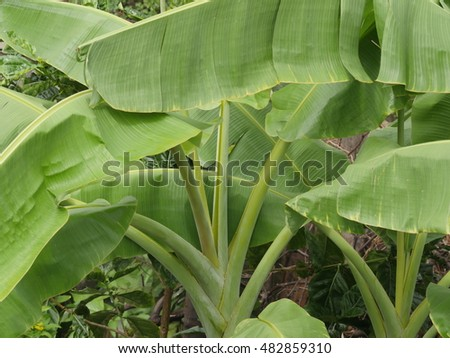 leaves of banana tree background