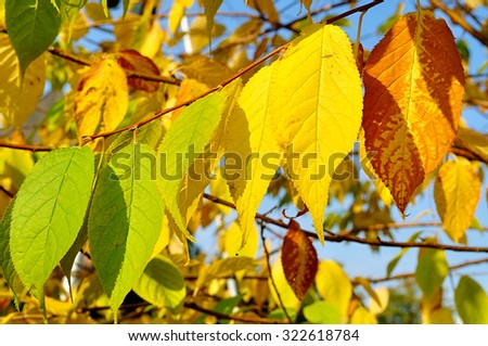 Leaves of bird cherry tree - in Latin Prunus maackii, or Padus maackii - in autumn sunny day, closeup, focus at the leaves