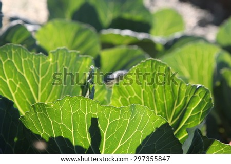 leaves of cabbage in the vegetable garden