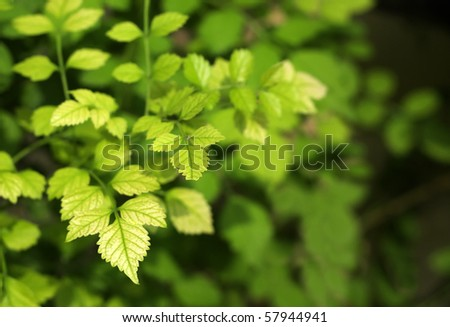 Leaves of Cape Honeysuckle at very shallow depth - stock photo
