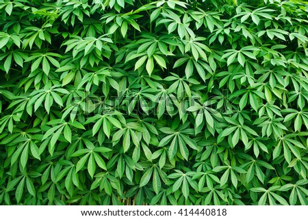 Leaves of cassava plant. - stock photo