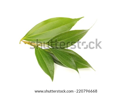 Leaves of cinnamon - stock photo