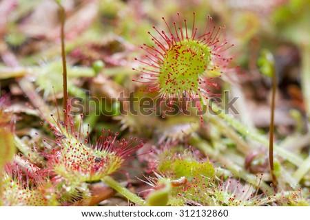 leaves of drosera rotundifolia - stock photo