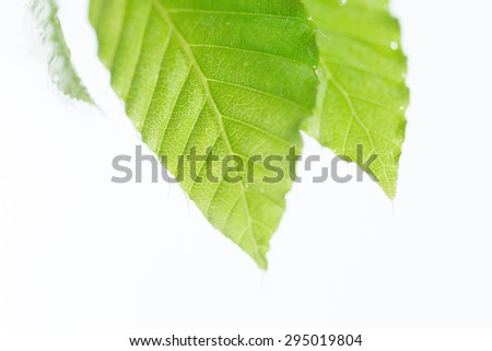 Leaves of fresh green beech - stock photo