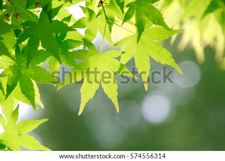 Leaves of fresh green. Leaves of Maple in Japan.
