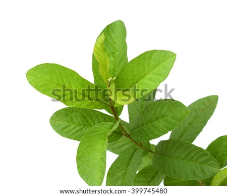 Leaves of guava close up macro isolated on white - stock photo