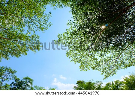 Leaves of Ivory Coast almond (Terminalia ivorensis Chev.) On blue sky.