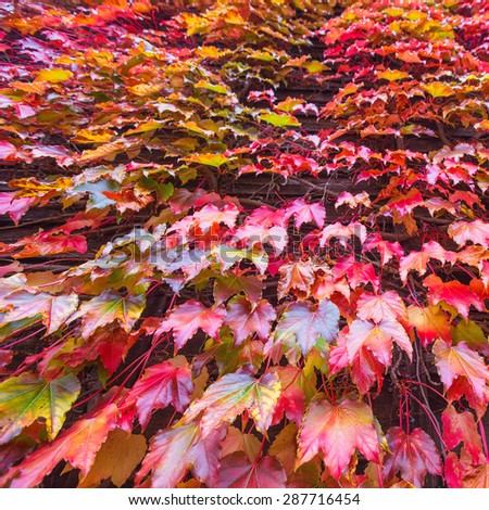 Leaves of ivy covering the wall in the fall - stock photo