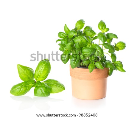 leaves of kitchen herb basil and plant in pot on white background - stock photo