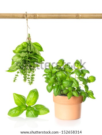 leaves of kitchen herb basil, hanging bundle and plant in pot on white background - stock photo