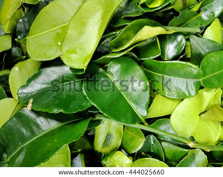 Leaves of makrut (kaffir) limes, used in oriental and indian cooking - stock photo
