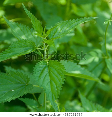 Leaves of nettles - close up.Very medical plant. Nettle is harvested from June to September and used to leaves and root. It is used for purifying the blood and increase