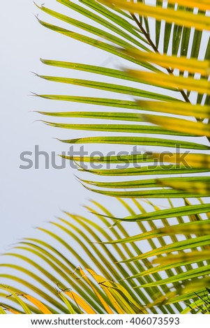Leaves of palm tree   in a blurred background