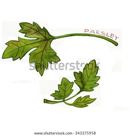 leaves of parsley drawing by watercolor at white background, hand drawn art illustration - stock photo