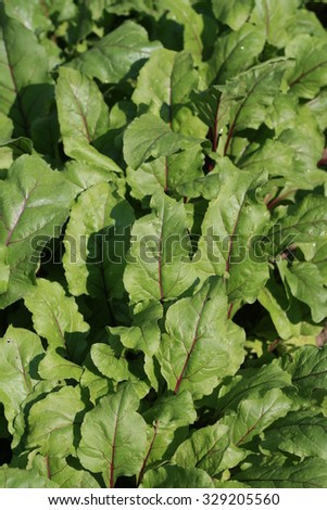 Leaves of red beet. - stock photo