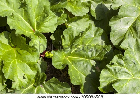 leaves of rhubarb in vegetable garden - stock photo