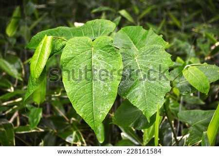 Leaves of sacaline after rain