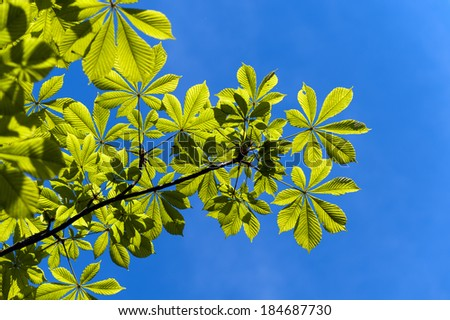 Leaves of the chestnut tree against blue sky - stock photo