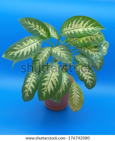 Leaves of the flower (dieffenbachia) over blue - stock photo