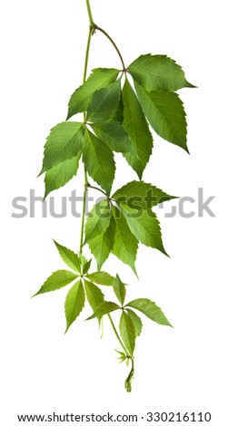 leaves of vine are isolated on a white background