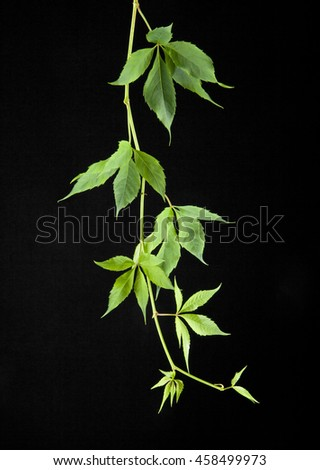leaves of vine on a black background