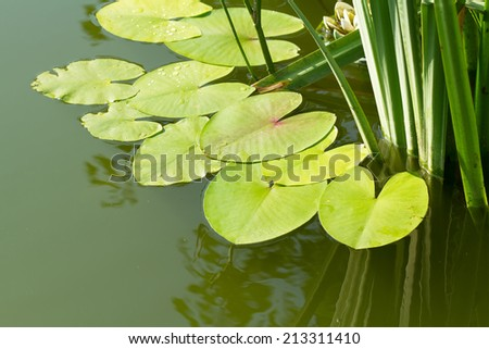 Leaves of water lilies on the pond - stock photo