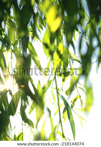 Leaves of willow hang from twig - stock photo