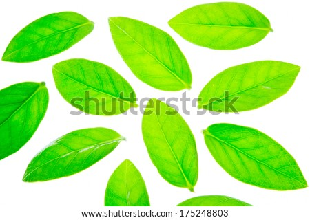 Leaves of Zamioculcas Zamifolia in hand on white background