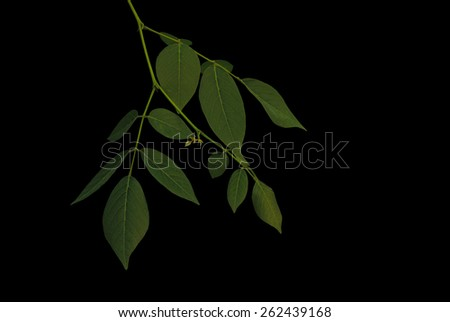 leaves on the branch on black background  - stock photo