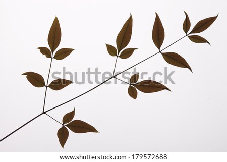 leaves on white background - stock photo