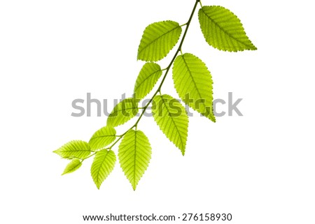 Leaves on white background     Close up shots of nature - stock photo