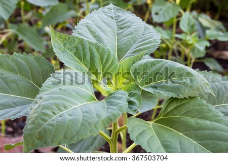 leaves, sunflowers - stock photo
