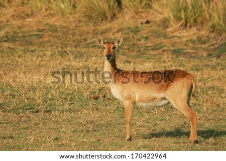 Lechwe waterbuck, Kobus leche, Puku-Moorantilope, South Africa - stock photo