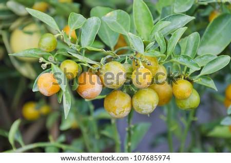 Home Grown Persimmon Tree Ripe Fruit Stock Photo 192220748 ... Leeches Fruit Tree