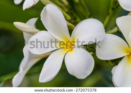 Leelavadee (Plumeria) tropical flower