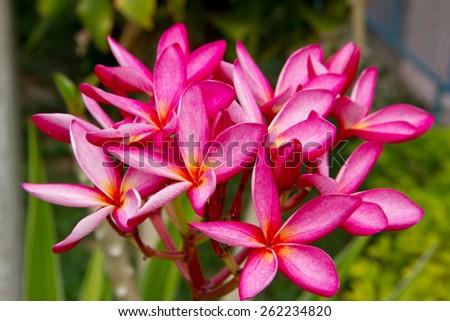 Leelavadee, Plumeria tropical flowers in garden - stock photo