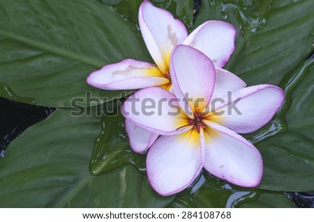 Leelawadee Thailad , Plumeria,  frangipani flower and leaves a green  - stock photo