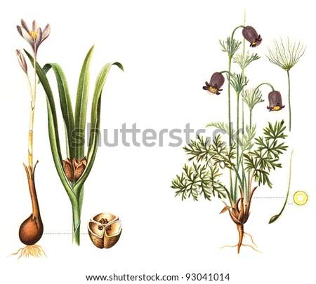 left Autumn crocus (Colchicum autumnale) and right Pasqueflower (Pulsatilla pratensis) - poisonous plants / vintage illustration from Meyers Konversations-Lexikon 1897 - stock photo