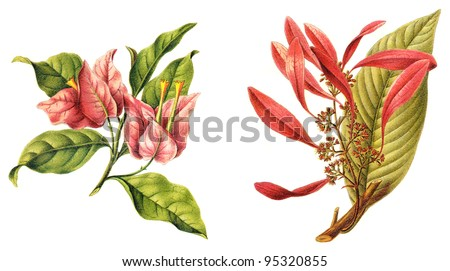 left Bougainvillea spectabilis and right Chaconia (Warszewiczia coccinea) / vintage illustration from Meyers Konversations-Lexikon 1897 - stock photo